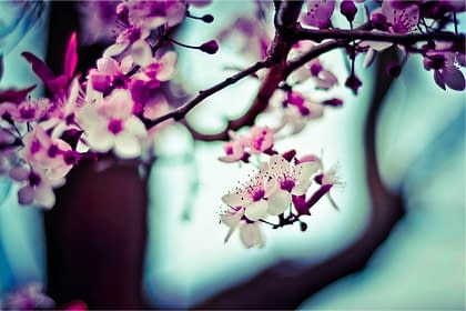 Cherry Blossom image from Sakura Counseling